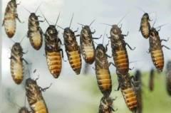 Борба с хлебарки по домовете.